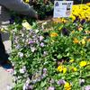 Violas at the Grand Army Plaza farmers market