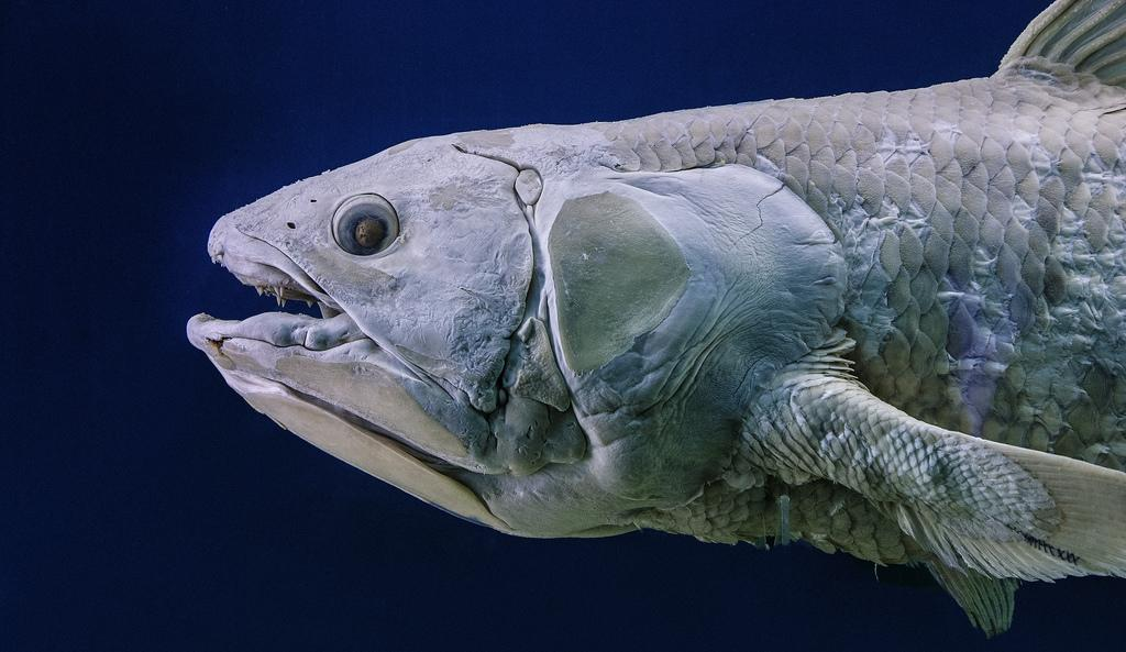 The leonard lopate show mysteries of the coelacanth s dna wnyc
