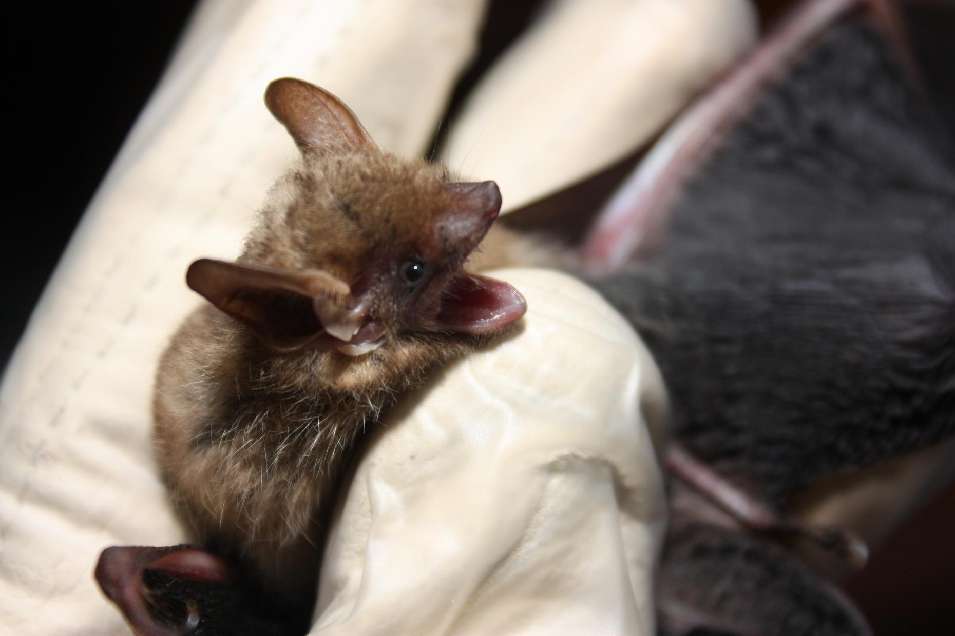 Moldy Bananas May Hold The Secret To Saving Bats Lives Hypothesis Wnyc