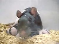 A rat mom with her pups (a color adjusted still from research video)