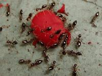ants eating a berry