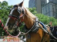 central park, carriage horses