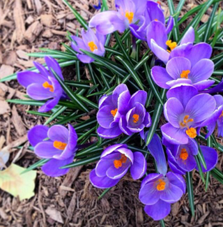 Crocuses in Central Park.