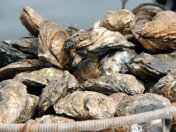 Oysters help clean polluted water and reduce the impact of strong waves during hurricanes.