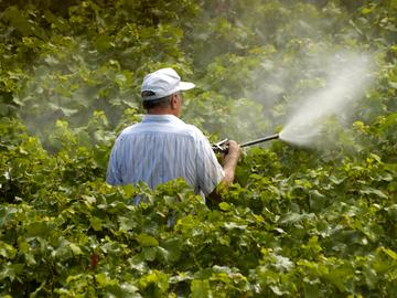 A farmer sprays pesticides on grape vines.
