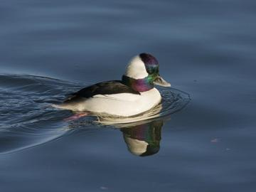 A male bufflehead duck with purple, green and white feathering.