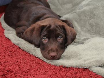 labrador_puppy
