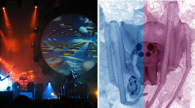 Pink Floyd = Pinkfloydia harveii