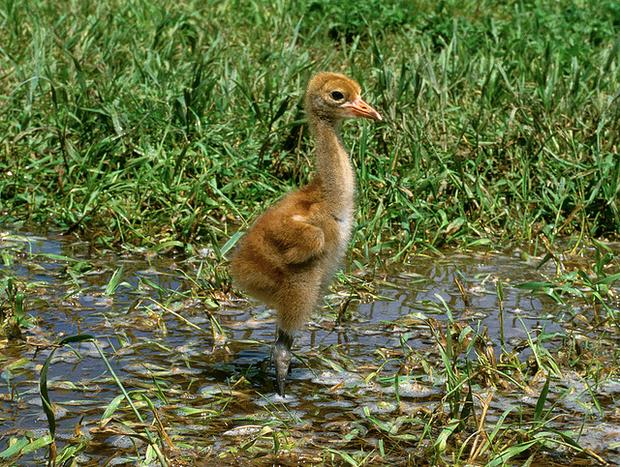 Whooping crane chick.