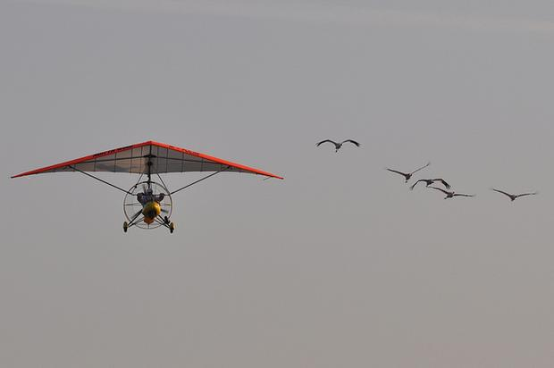 Whooping cranes learning a migration route behind an ultralight aircraft.