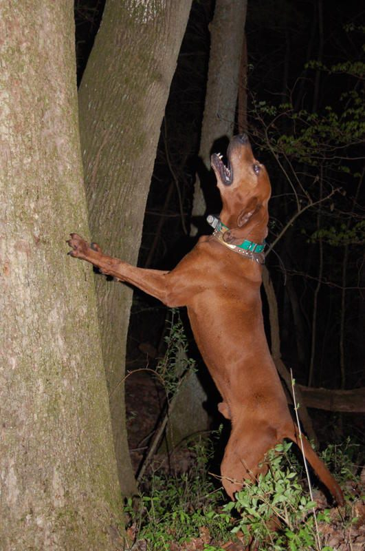 redbone coonhound  treeing  Redbone Coonhound Treeing