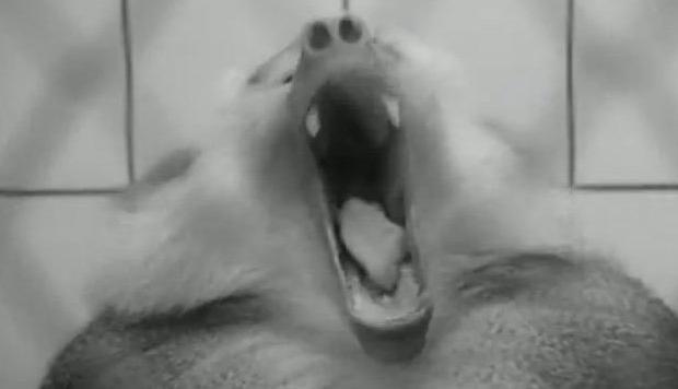 Baboon Yawning