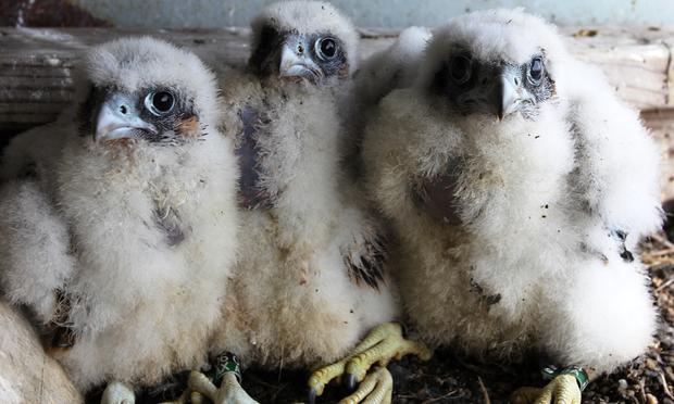 SLIDESHOW: Baby Falcons Nest High Above New York City - WNYC