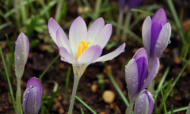 crocus early spring flowers