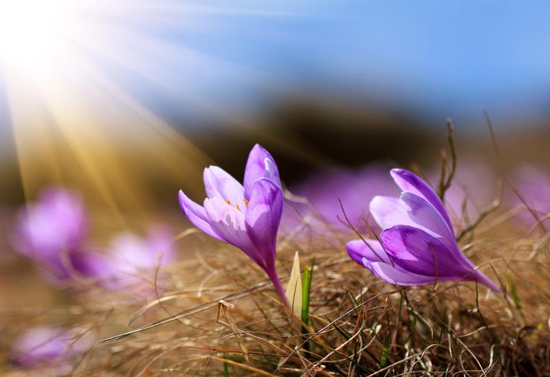 These crocuses bathing in rays of sun make us yearn for Spring.