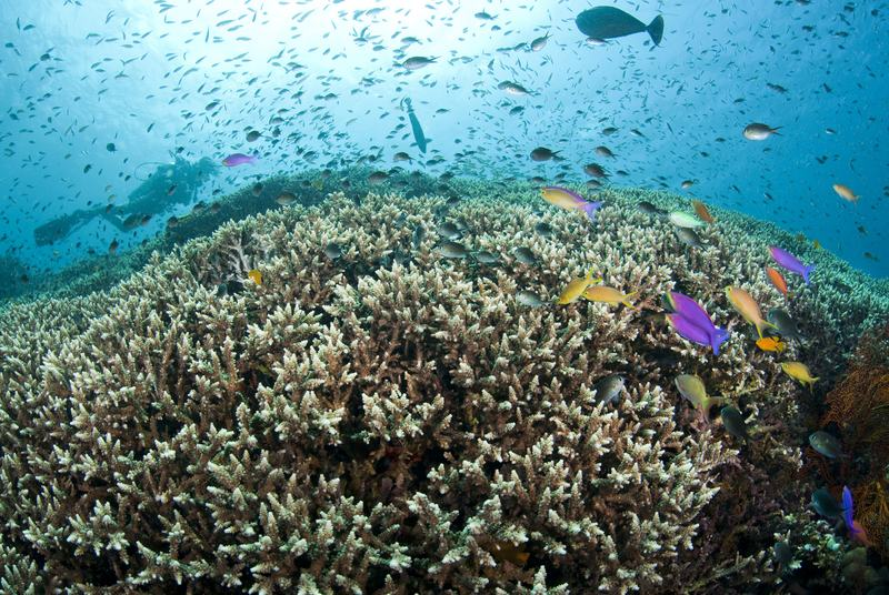 A diver explores a hard coral reef with Anthias and Damsels in the shallow waters off Amed (Jemeluk) near Bali, Indonesia.