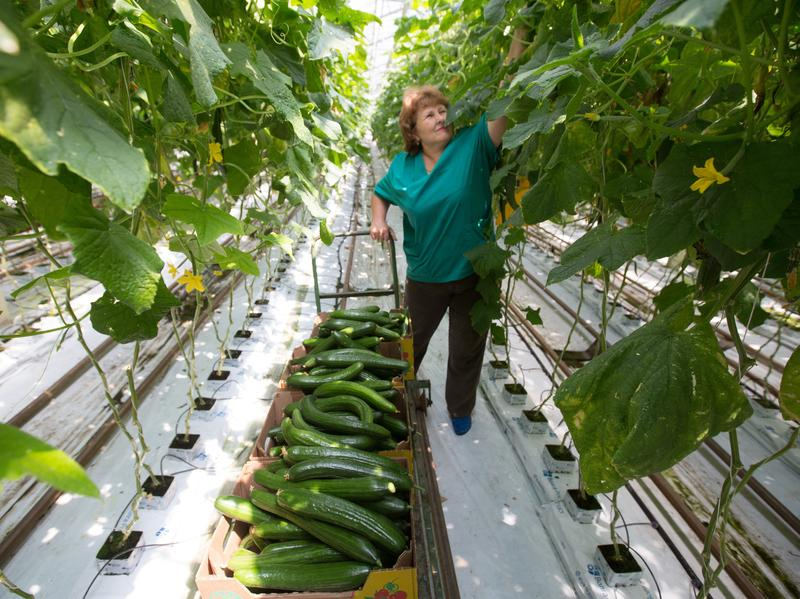 """A farm worker collects cucumbers in a greenhouse in Russia. Mac Callaham, a research ecologist at the USDA Forest Service, says William the Worm likely met its fate in """"a greenhouse scenario."""""""