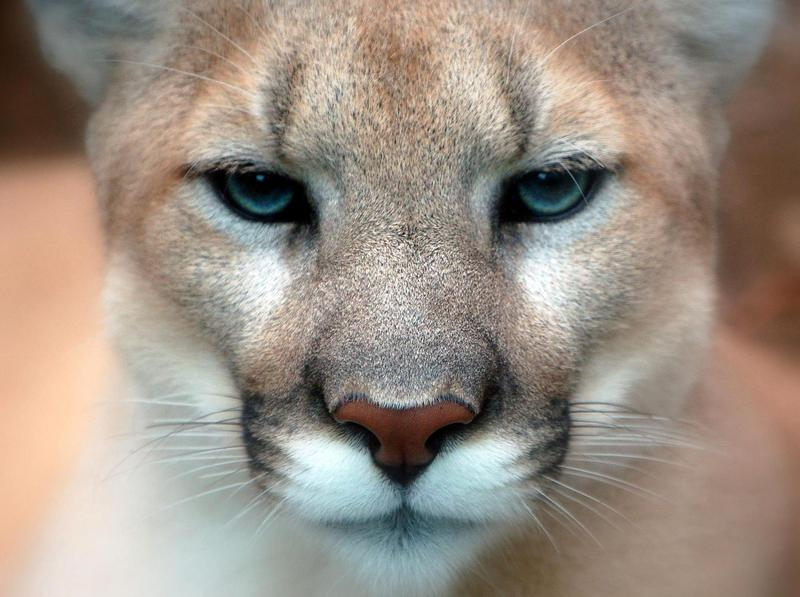 A study is exploring what would happen to deer, and to humans, if an elusive carnivore came back to the northeast:  the mountain lion, also known as the cougar. (Art G./Wikimedia Commons)