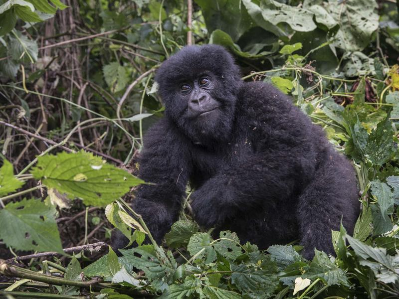This 1-year-old is part of the mountain gorilla population in Virunga National Park in the Democratic Republic of Congo.