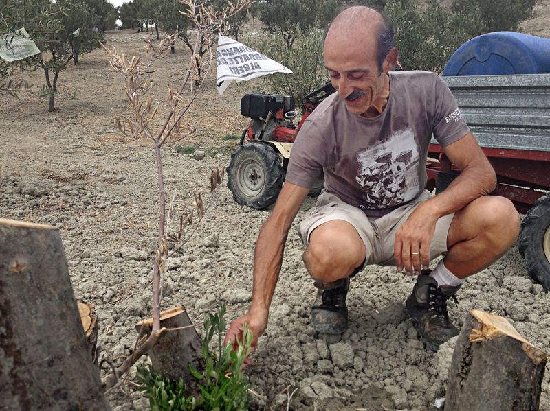 Farmer Daniele Pacicca in the Calabria region of southern Italy shows the stumps of his 13 olive trees that were hacked down this summer. With the help of GOEL Bio, he was able to replace them with twice as many new trees, 26.