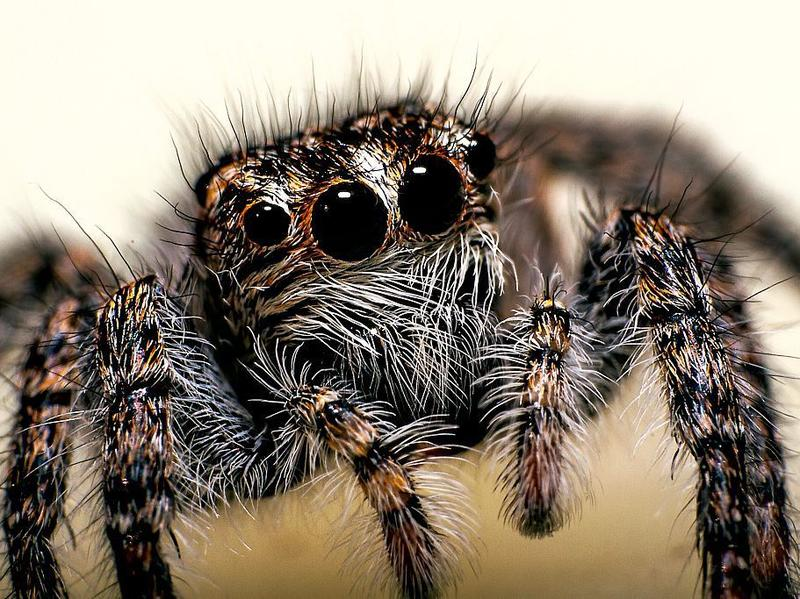 """Scientists found that <em>Phidippus audax</em> can also """"respond to airborne acoustic cues."""""""