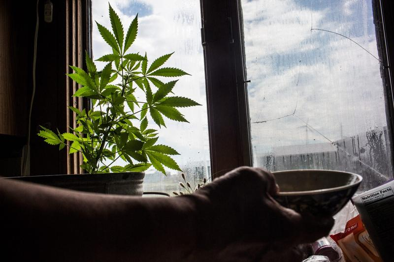 A marijuana plant is grown in window sill of a Yupik family on July 3, 2015 in Newtok, Alaska. (Andrew Burton/Getty Images)