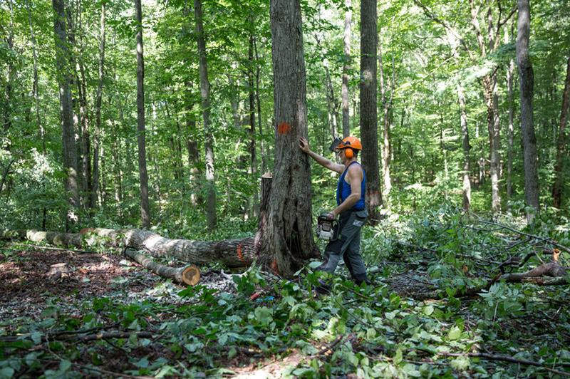 Gerald Bellows of Gibson Hill Forest Products observes a tree that he'll soon cut down. (Ryan Caron King/WNPR)