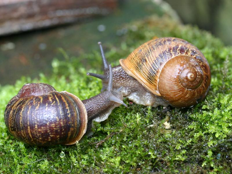 Rare snail Jeremy (left) meets a potential mate named Lefty.