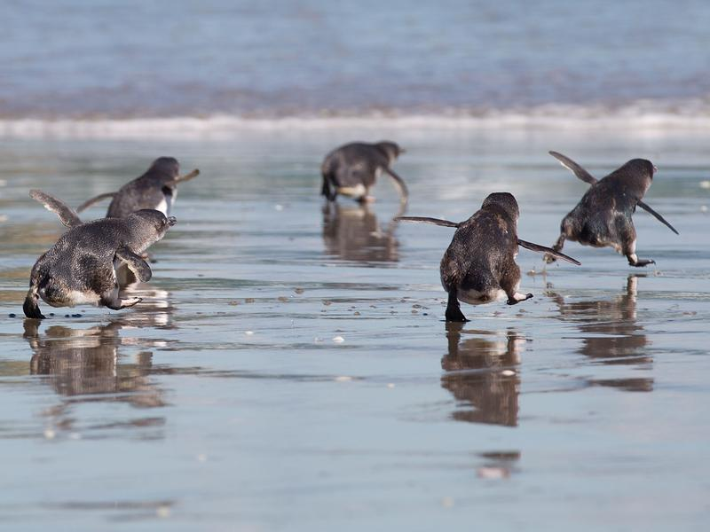 Dancing and tapping their little happy feet, Blue Penguins in New Zealand no longer have to cross the road to get to their nesting area. They have their own foot-tall underpass. Penguins only, please.