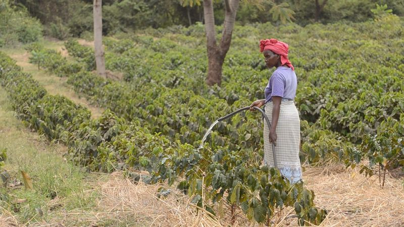 Rainfall critical for flowering and fruiting of coffee trees is becoming less reliable in countries like Tanzania. Farmers lucky or wealthy enough to have access rivers counter dry spells with irrigation. (Courtesy Daniel Grossman)