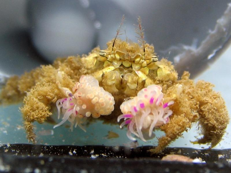 A wild-caught <em>Lybia leptochelis</em> crab holding an anemone in each claw.