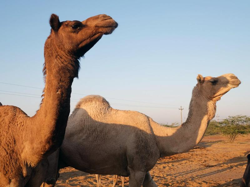 Camels in the western Indian state of Gujarat. These animals are part of a herd owned by the nomadic Maldhari herders.