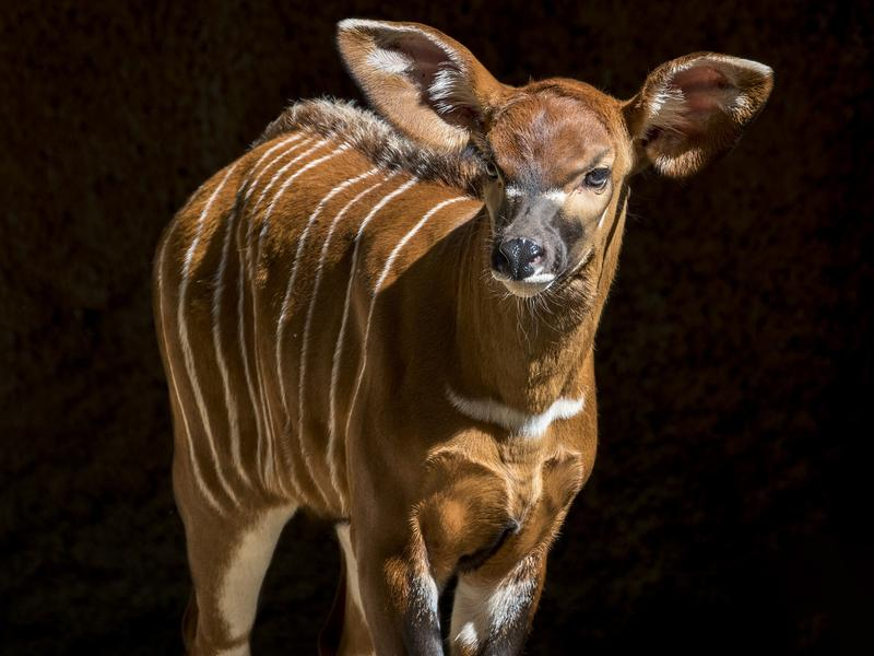 A month-old baby bongo at the Los Angeles Zoo.