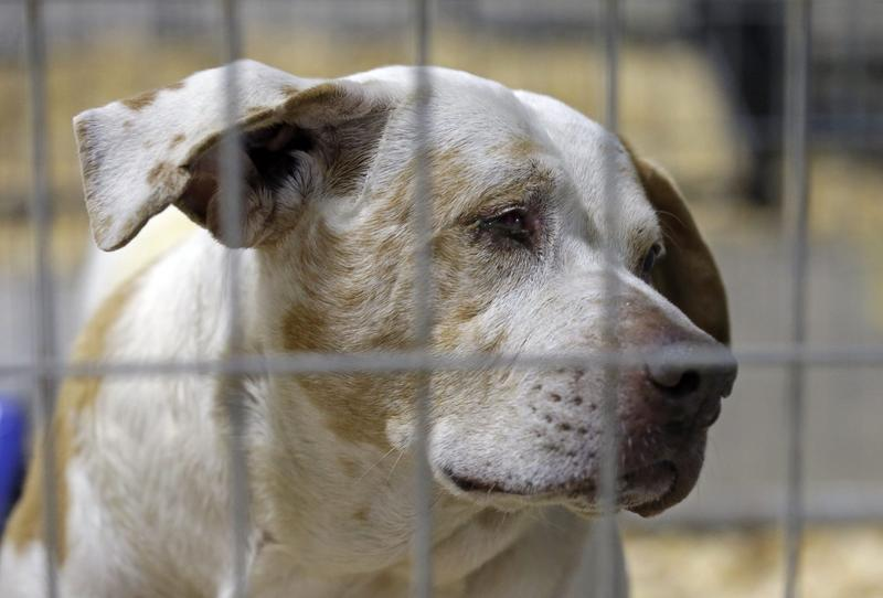 A rescued dog peers from within a kennel where hundreds of rescued animals are being kept for treatment about an hour southwest of Raleigh, N.C., Friday, Jan. 29, 2016. (Gerry Broome/AP)