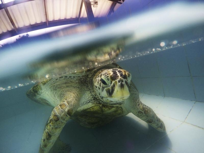 The female green sea turtle swims in a pool at Sea Turtle Conservation Center in Chonburi Province, Thailand, prior to her surgery.