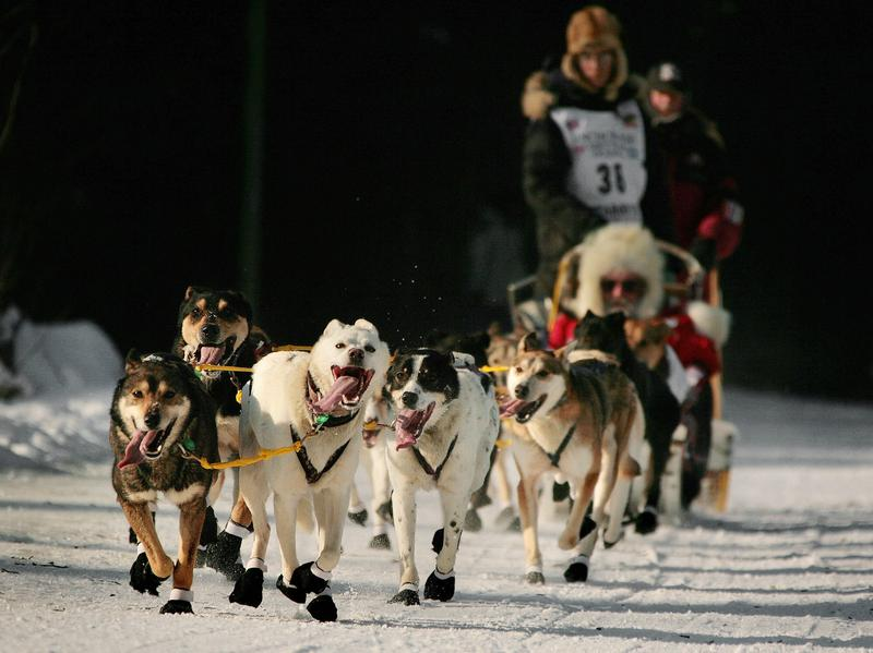 The dogs that race in the Iditarod are well-trained and competitive. And, you know, sometimes they're a bit derpy looking.