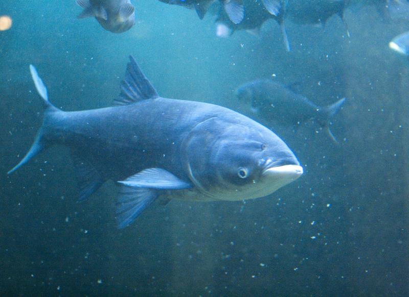 Invasive Asian Carp
