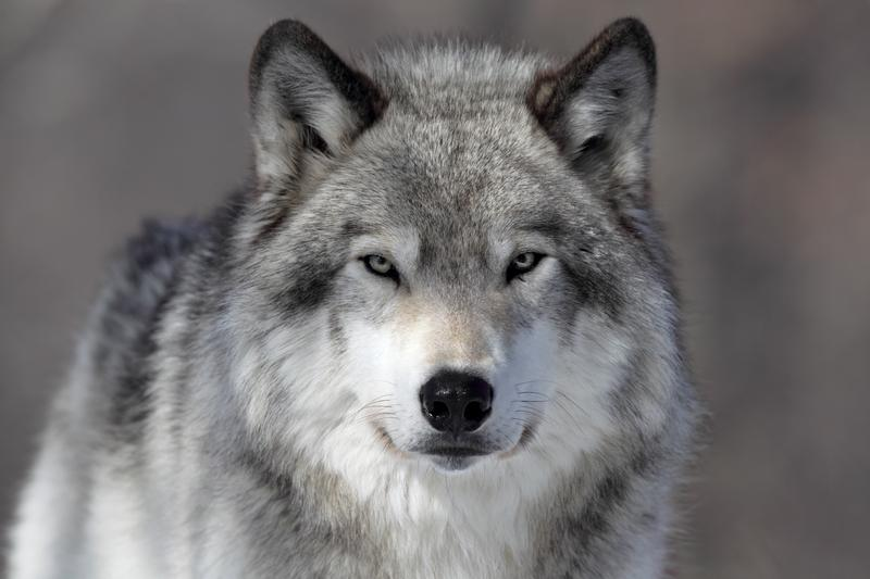 how the fight for the gray wolf was won lost the takeaway wnyc