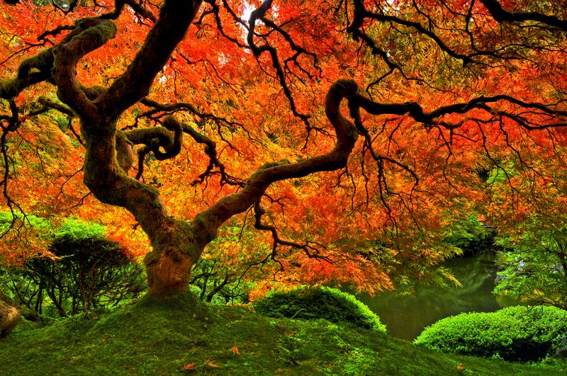 A Anese Maple Tree Surrounded By Moss In Portland Oregon Hai Huu Thanh Nguyen Getty