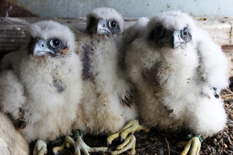 Slideshow Baby Falcons Nest High Above New York City Transportation Nation Wnyc