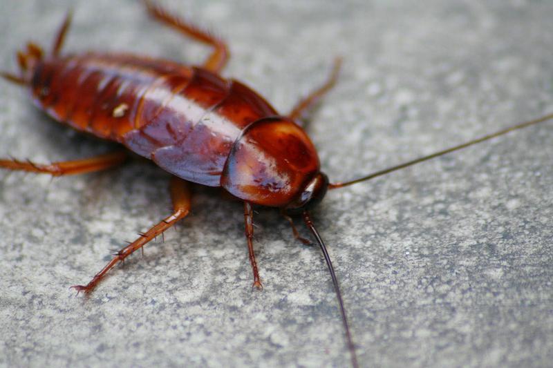 Cock Roache Bugs
