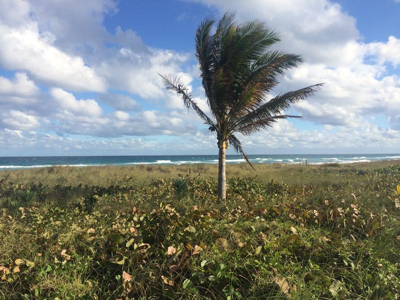 A solitary palm tree in Delray Beach, Florida