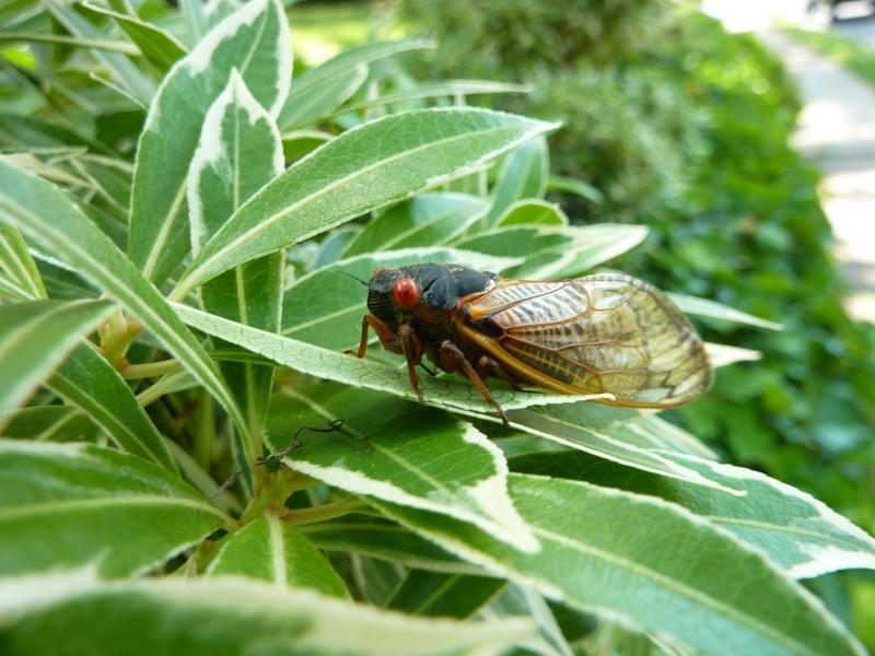 cicadas on a shrub in Summit, NJ