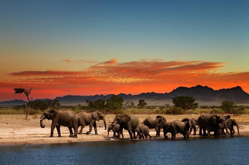 Elephants in African Savana at sunset
