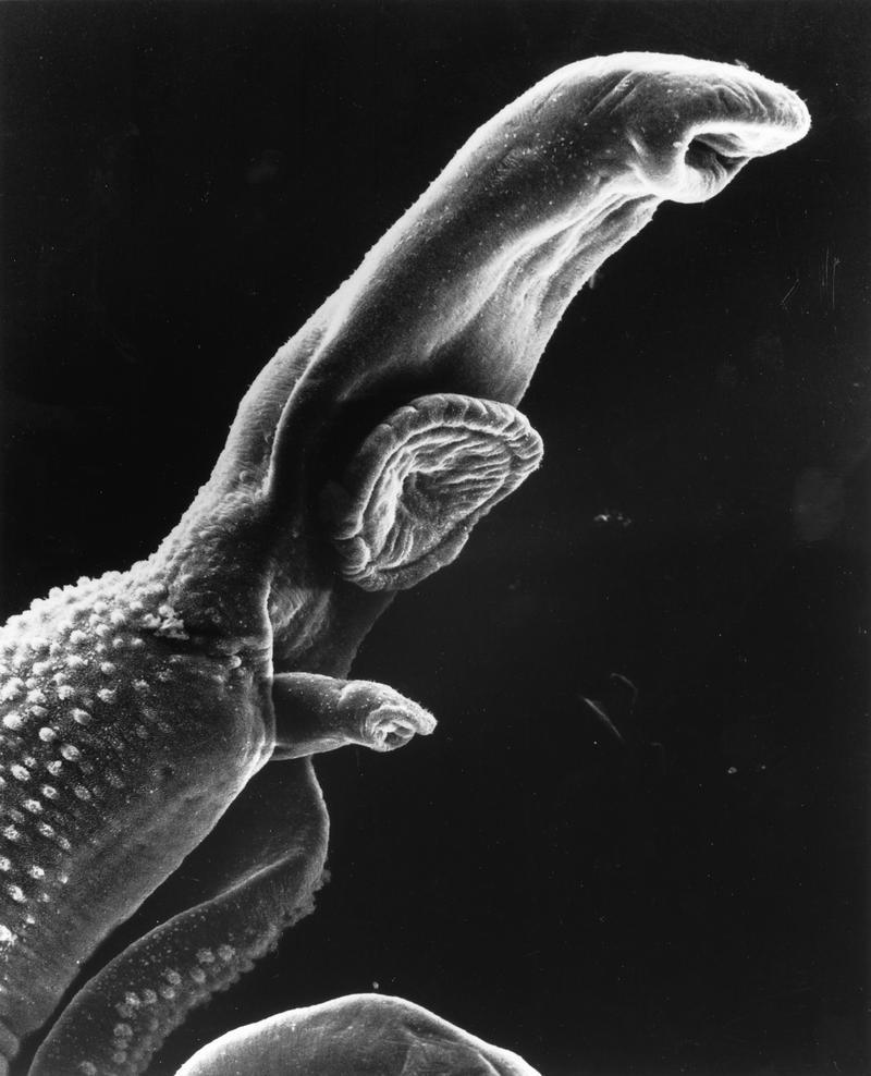 ciclul de viață al unui vierme rotund