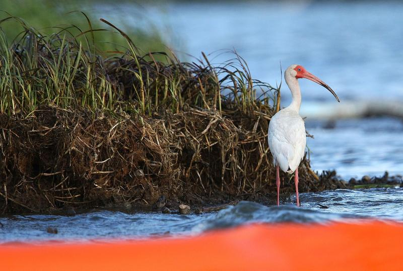 Behind a protective orange boom, an ibis stands in the water on an oil-covered marsh May 27, 2010 near Grand Isle, Louisiana.