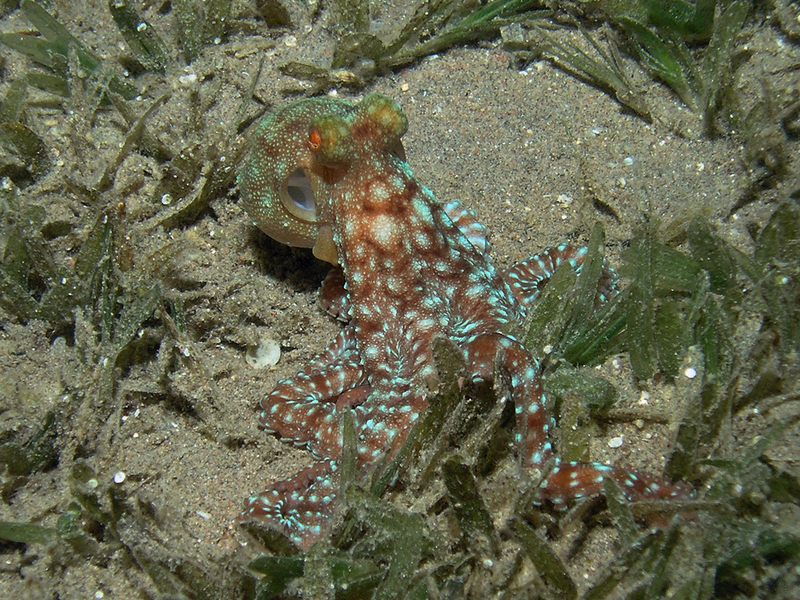 A White Spotted Octopus hunting for molluscs and crabs in the sea grass at night in Aqaba Marine Park.