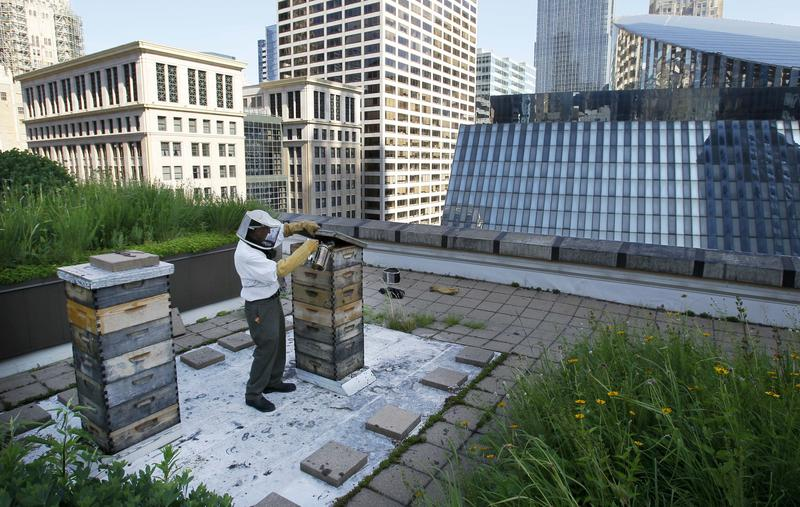 In this photo taken Tuesday, July 12, 2011, beekeeper Michael Thompson, applies smoke, to settle down the more than 1000,000 bees in a hive on top of City Hall in Chicago.