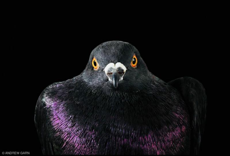 A New York City Pigeon Poses For A Portrait In Photographer Andrew Garnu0027s  Latest Book,