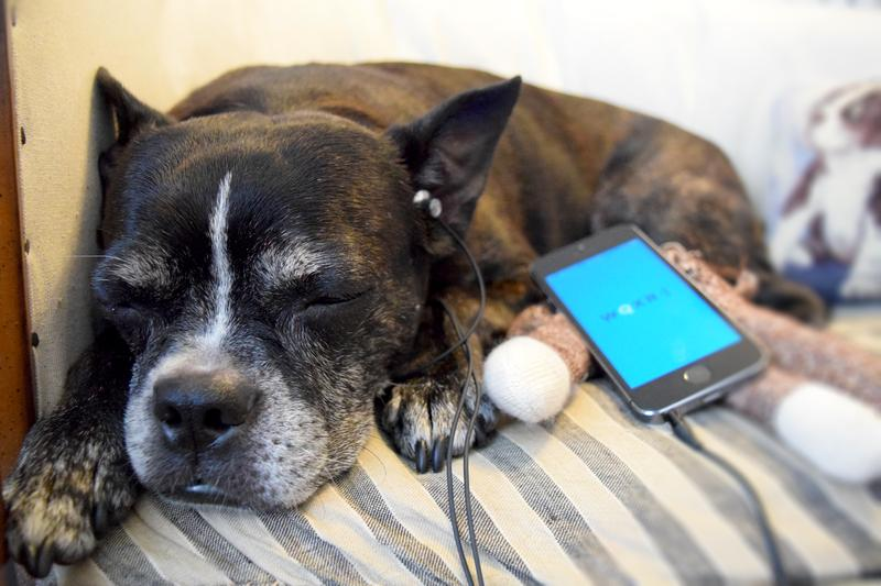 Olive the dog relaxes to classical music via the WQXR app.